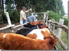 Comenzaron operativos de vacunación bovina en sectores rurales de Temuco