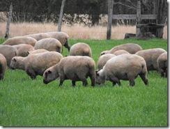 Agricultores ovinos de Villarrica obtienen proyectos de innovación