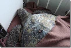 Tortuga rescatada en Puerto Saavedra no se veía desde el año 1960