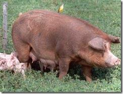 avesyporcinos.com_3861_362011_triquinosis porcinos