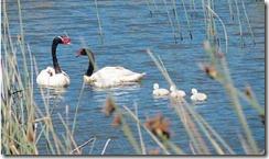 cisne cuello negro