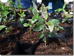Curarrehue Cultivo de árboles nativos  (1)