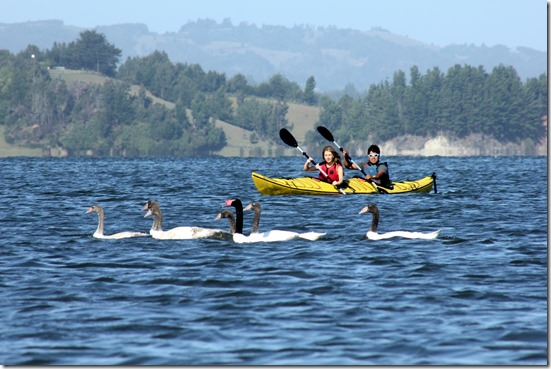 Kayak entre cisnes de cuello negro (Circuito Lago Budi)