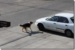 ataque perro auto (1280x853)