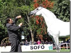 Los caballos árabes