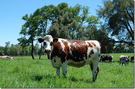mejoramiento-genético-bovino-la-araucanía-1